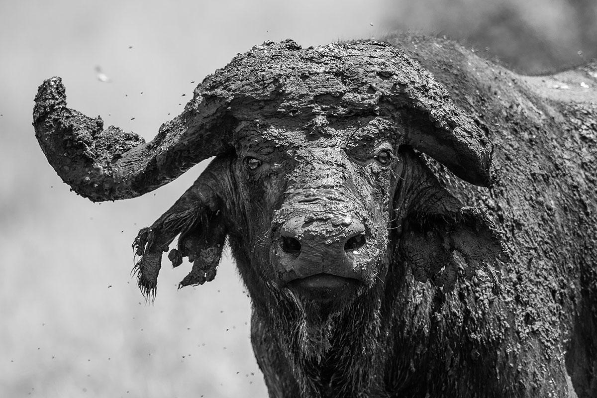 Buffalo-Uganda
