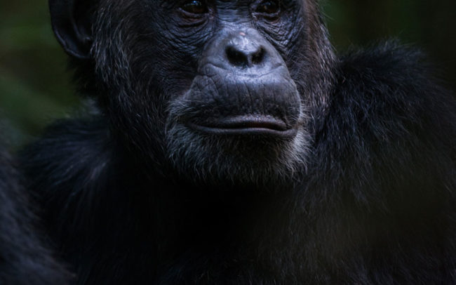 Chimpanzee Uganda