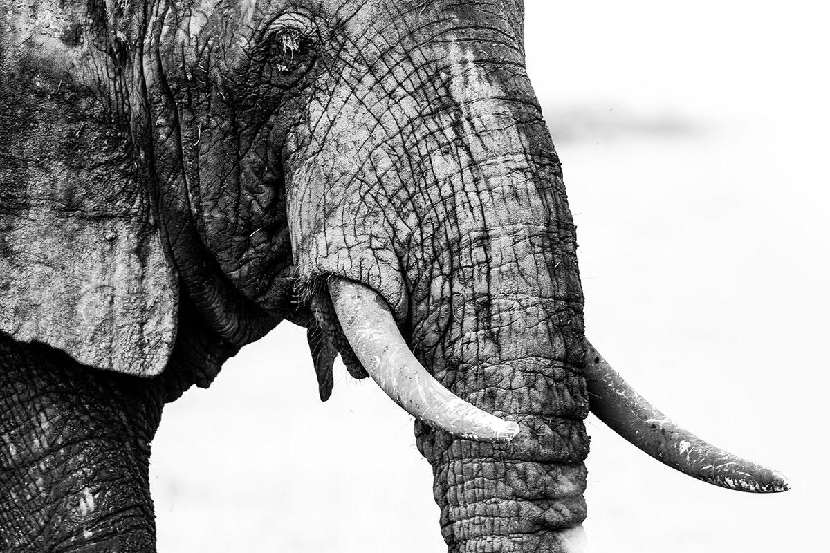 Elefante-Elephant-Uganda