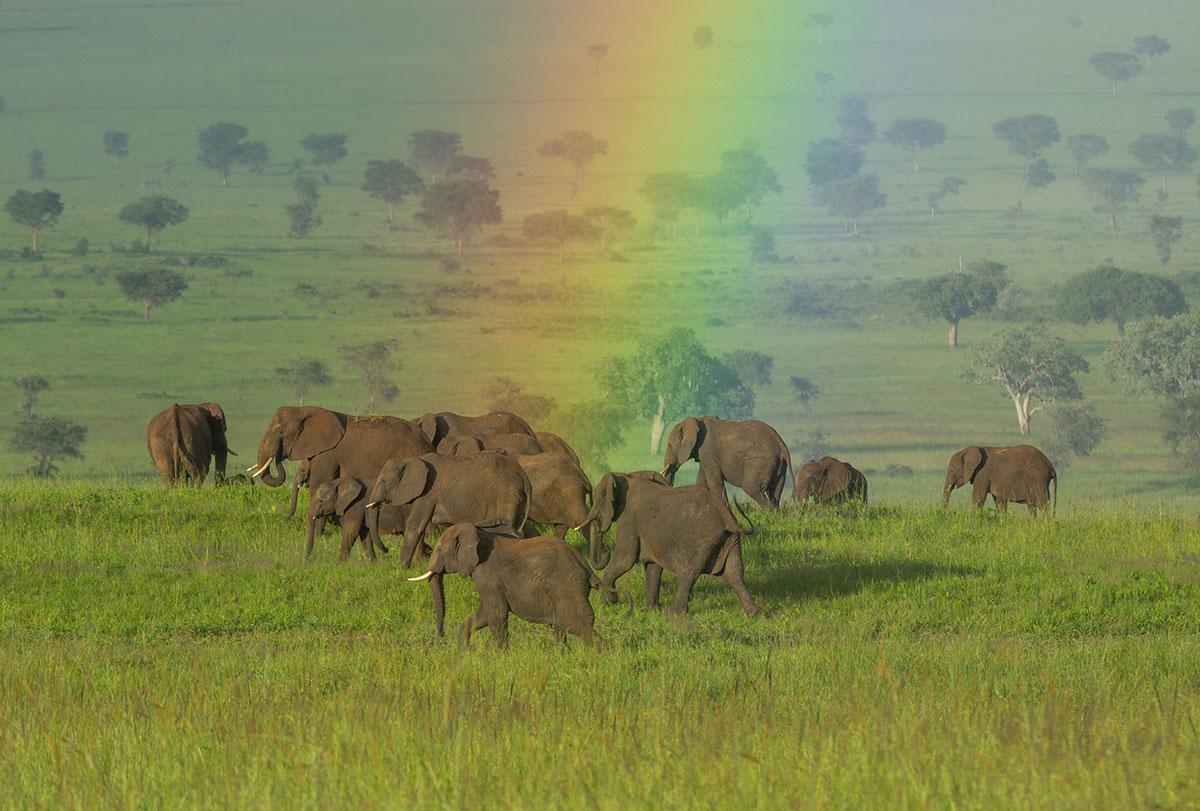 Elephants-Uganda-Rainbow