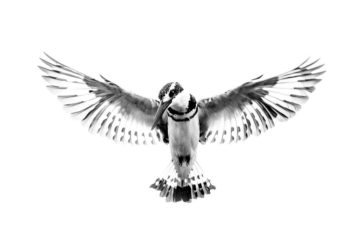 Kingfisher-Uganda