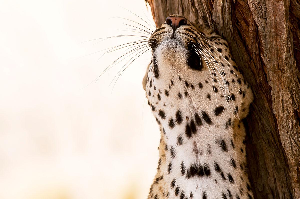 Leopard Kgalagadi Alex Martin Ros