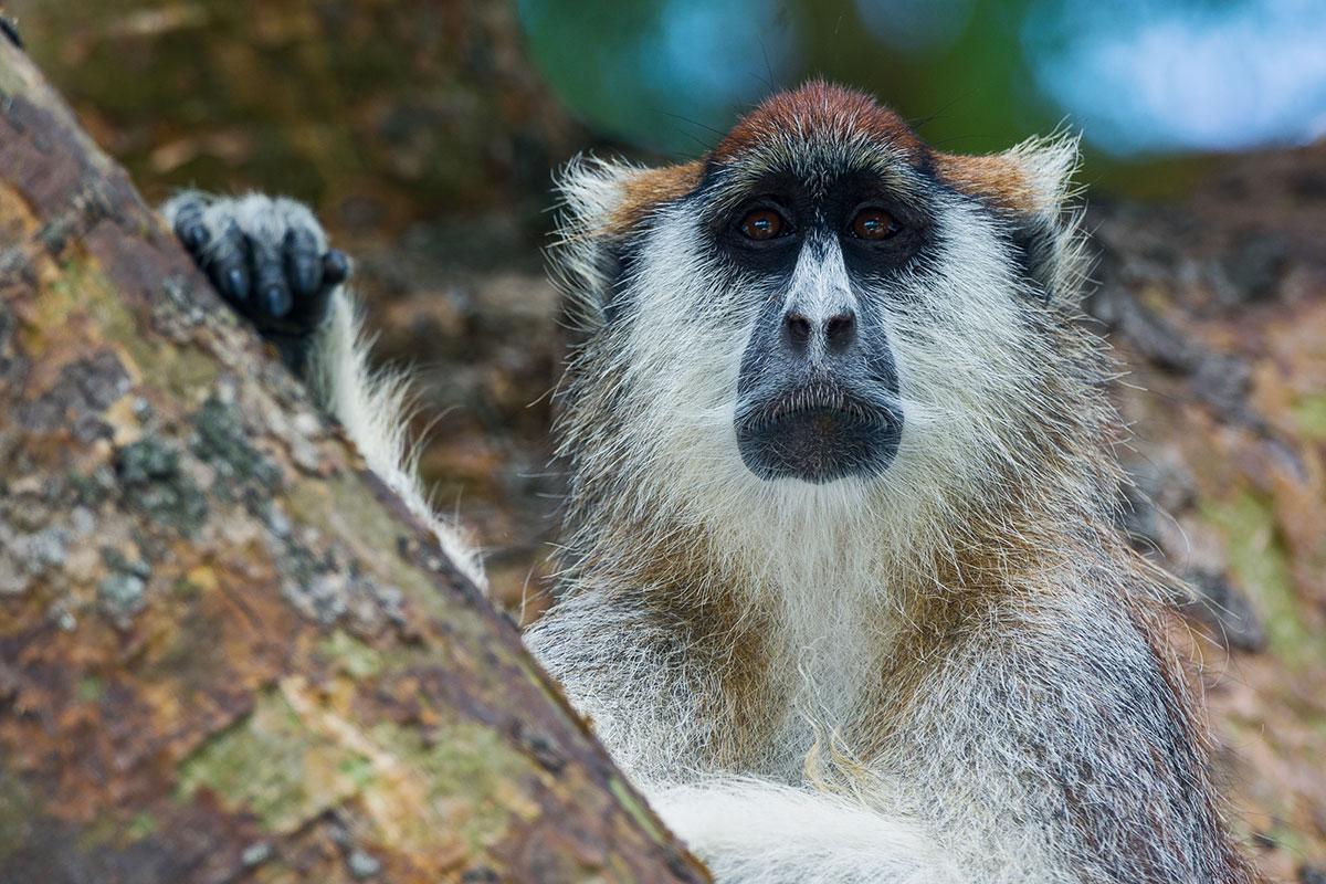 Patas-monkey-Uganda
