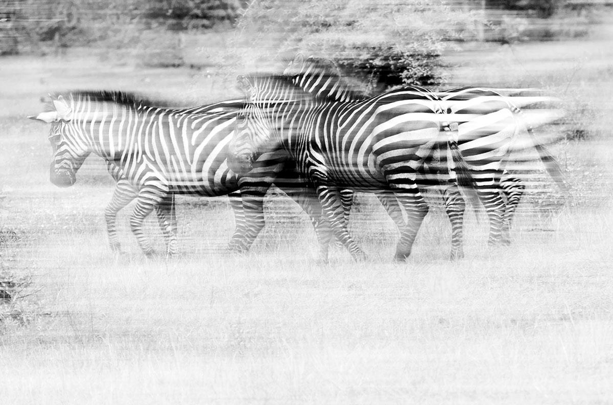 Zebra-Uganda